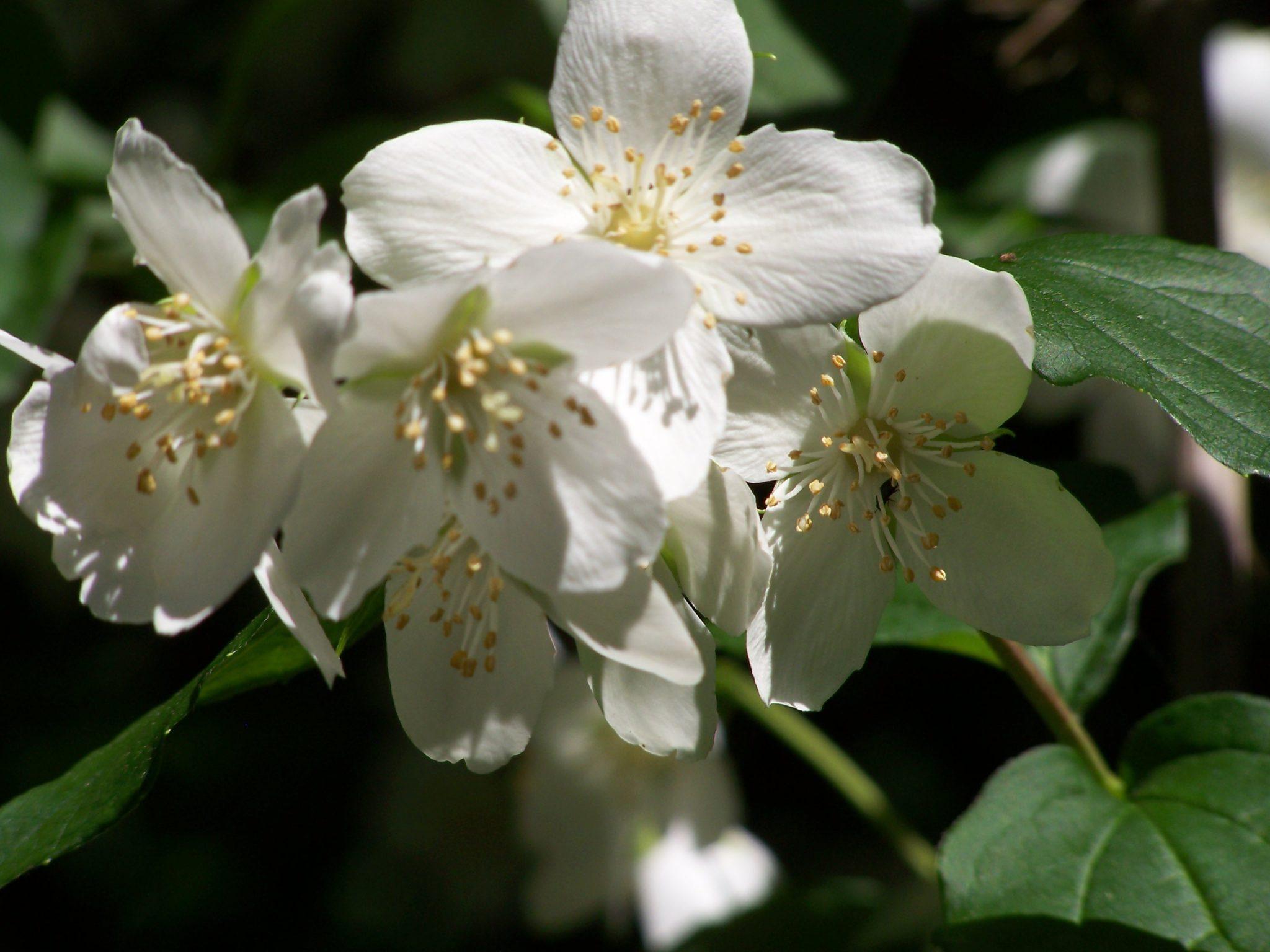 flores-de-jazmin-6
