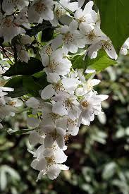 flores-de-jazmin-7