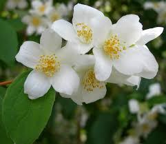 flores-de-jazmin