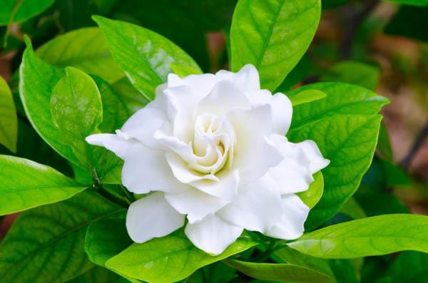flores-gardenias-1