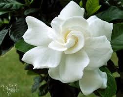 flores-gardenias-2