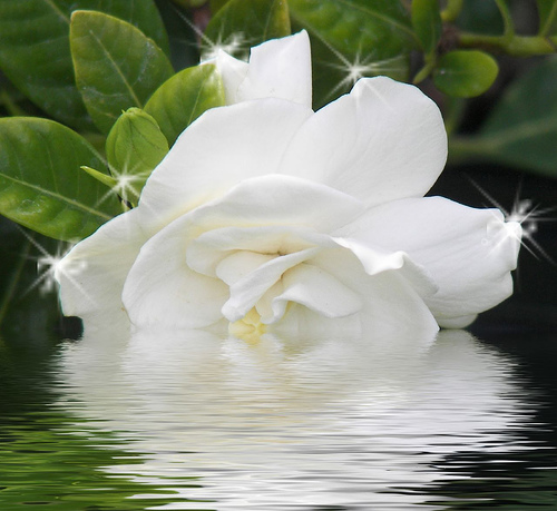 flores-gardenias-3