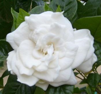 flores-gardenias-4