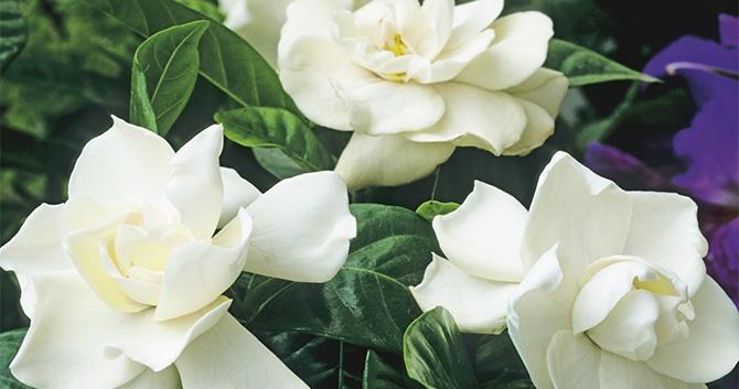 flores gardenias
