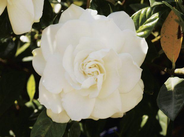 flores-gardenias-6