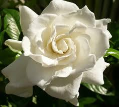 flores-gardenias-7
