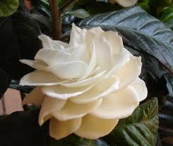 flores-gardenias-8