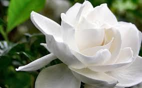 flores-gardenias-9