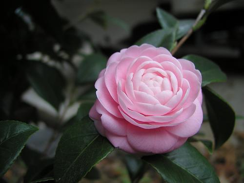 gardenias-de-colores-3