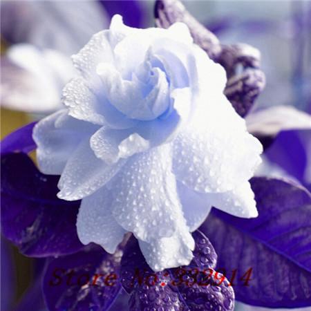 gardenias-de-colores-4