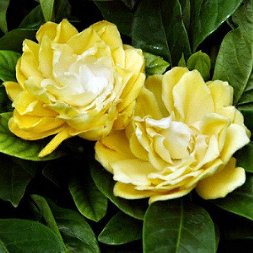 gardenias-de-colores-6