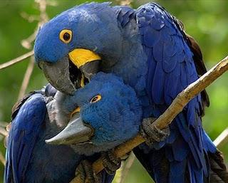 guacamaya-azul