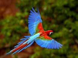guacamaya-volando