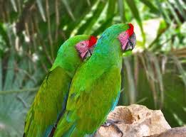 guacamayas-verdes-4