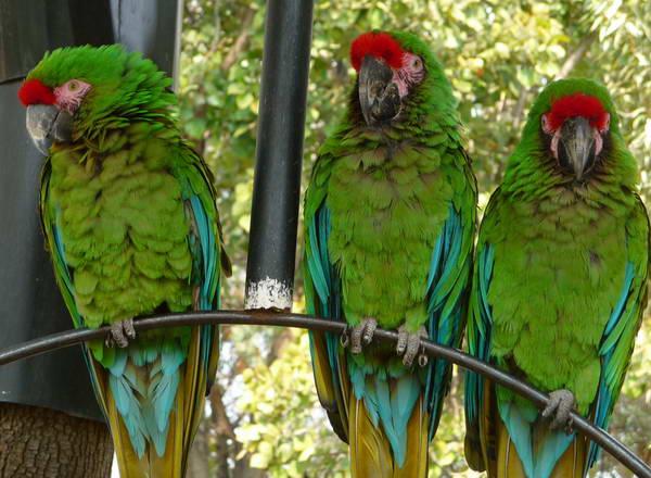 guacamayas-verdes-7