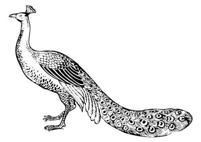 peacock-17393