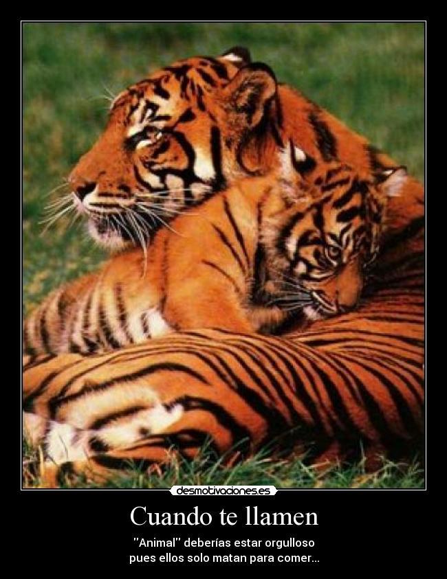 tigres_8