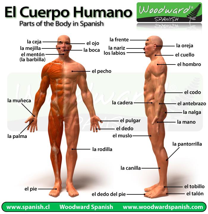 El cuerpo humano   Descargar imágenes gratis