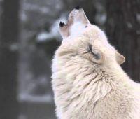 Imágenes de lobos aullando