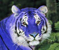 Imágenes de tigres azules