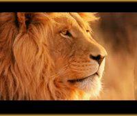 Imágenes de leones reales