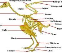 Imágenes del esqueleto de una gallina