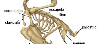 Imágenes del esqueleto de una gallina con los nombres de cada hueso para tarea