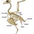 Imágenes del esqueleto de una gallina con los nombres de cada hueso
