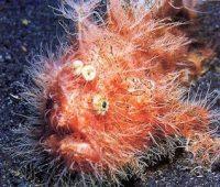 Imagen del extraño pez sapo peludo