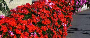 Imágenes de geranio rojo para descargar