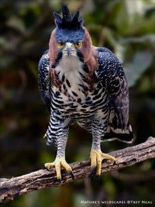 Águila-de-penacho