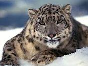 El Leopardo de Amur