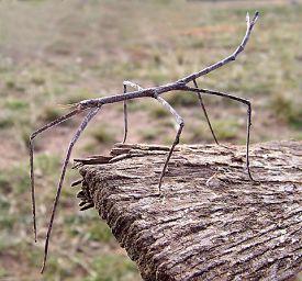 El insecto palo de australia