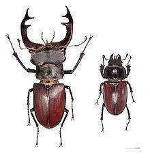 Escarabajo de ciervoBornemissza