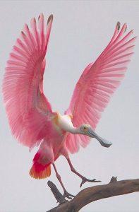 Espátula rosada