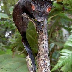 Gecko satinado con hojas
