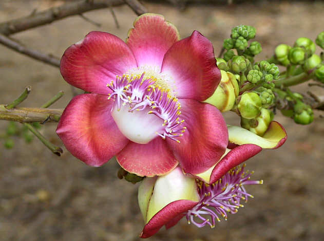 Imágenes de las Plantas exóticas de panamá