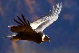 Condor volando