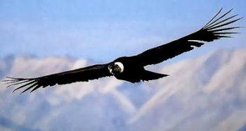 Cóndor sobre volando sus tierra
