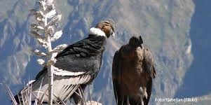 Condor macho y su hembra