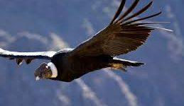 Cóndor andino sobre volando