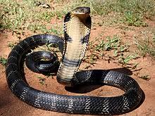 La cobra real