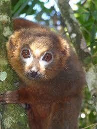 Lemur de bambú