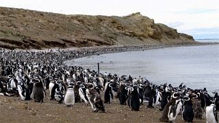 Los pingüinos de Punta Arenas