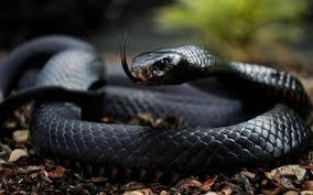 9 Serpientes más mortales del mundo