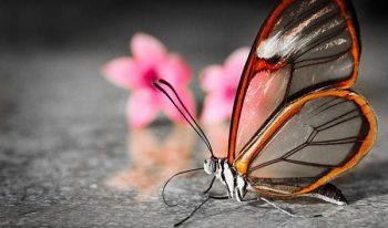 Mariposa con alas de vidrio