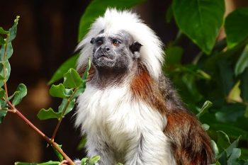 Mono capuchino de cabeza blanca