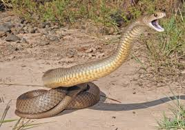 Serpiente marrón oriental