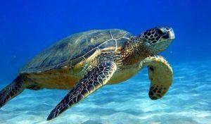Tortugas de mar