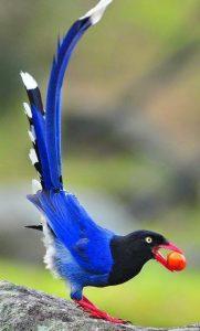 Urraca-azul